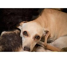 Chiweenie  Miracle Rescue Photographic Print