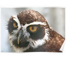 Spectacled Owl Poster