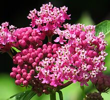 Marsh Milkweed with Ants by lorilee