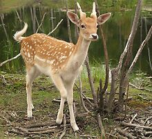 Beautiful Baby Deer by vette