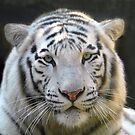 White Face Tiger by David Lee Thompson