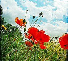 Norfolk Poppies .. by rosannamz
