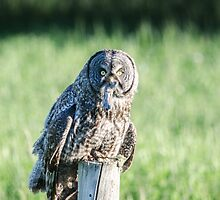 Great Gray Owl by Lindarich