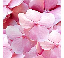 Pinkie, hydrangea flowers violet pink floral pattern Photographic Print