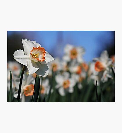 Daffodil II Photographic Print