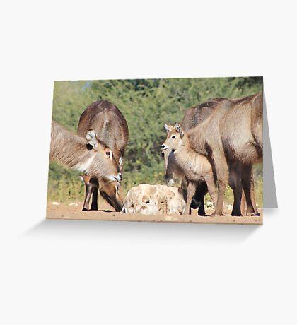 Waterbuck - African Wildlife Background - Cute Calf Antics Greeting Card