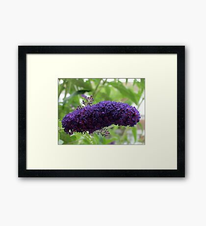 Butterfly Magnet - Buddleja Beauty Framed Print