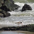 Oyster catcher Low Tide by Jacker