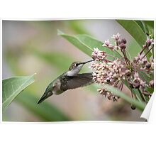 Ruby Throated Hummingbird 2016-1 Poster