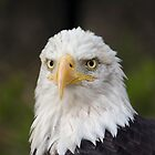Bald Eagle by Charles Kosina