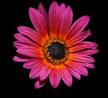 Daisy on Black by Heather Friedman