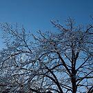 Ice Storm 2013 - Brilliant, Icy Blue Tree Branches by Georgia Mizuleva