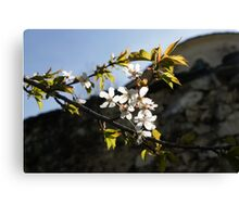 Facades and Fruit Trees - the Church and the Plum Canvas Print