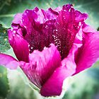 Hollyhock Bloom by Claudia Heidelberger