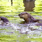 Otters Playing by imagetj
