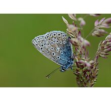 Macro shot of a Common Blue Butterfly ! Photographic Print