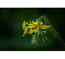 Tomato flower Photographic Print