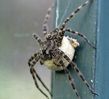 Dark Fishing Spider With Egg Case - Dolomedes tenebrosus by MotherNature
