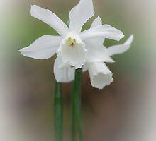 White Daffodil by Heidi Stewart