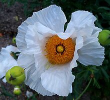 White Peony  by hootonles