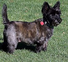 SWEETPEE THE CAIRN TERRIER AKA TOTO by JAYMILO