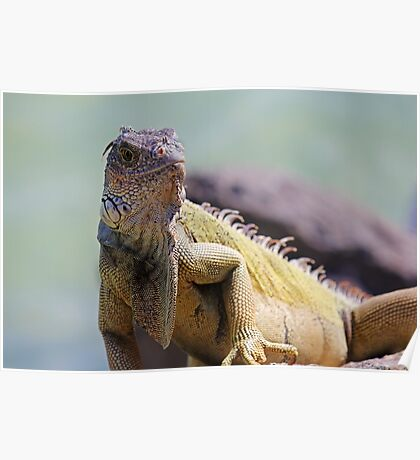 Young Adult Green Iguana Poster