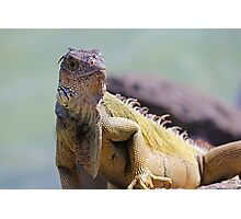 Young Adult Green Iguana Photographic Print