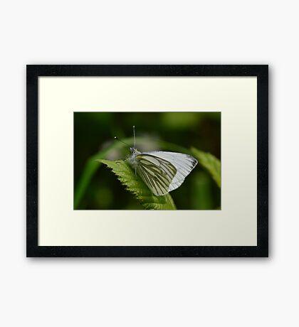 Macro shot of a Green Veined Butterfly Framed Print