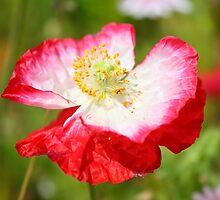 Pink Poppy by GreyFeatherPhot