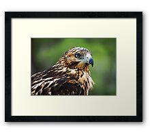 Galapagos hawk (Buteo galapagoensis) on a rock. Framed Print