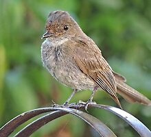 Newbie Flycatcher by bannercgtl10