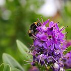 White-Tailed Bumblebee on purple flowers by GreyFeatherPhot
