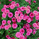 Mums Are Blooming by WeeZie