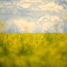 Canola Field by Roxanne Persson