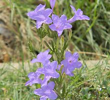 Wild Petunia, or Prairie Petunia by Navigator