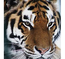 Siberian Tiger - unique photo design apparel and gifts Photographic Print