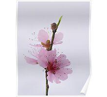 Pretty little peach blossom Poster