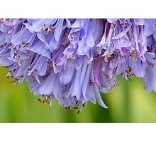 Lily of the Nile - blue and purple flower #1 Photographic Print