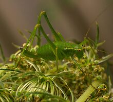 little green grasshopper by stresskiller
