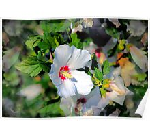 Red Hearted White Hibiscus Syriacus Poster