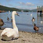 Lake Swan by spottydog06
