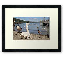 Lake Swan Framed Print