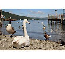 Lake Swan Photographic Print