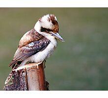 Laughing Kookaburra Photographic Print