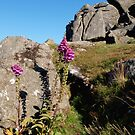 Two Foxgloves at Houndtor by kalaryder