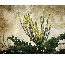 Mission Wallflowers Photographic Print