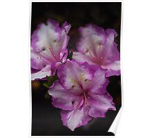 Azalea Flowers Poster