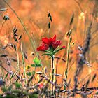 Indian Paint Brush at Sunset by bannercgtl10