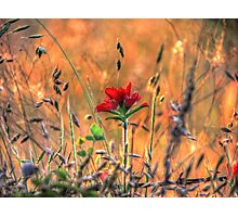 Indian Paint Brush at Sunset Photographic Print
