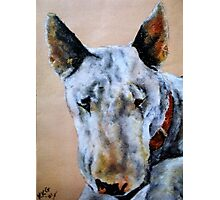 English Bull Terrier dog Photographic Print